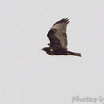 Red-tailed Hawk (Dark Western)