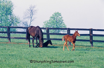 Horses in Pasture, Scott County, Kentucky
