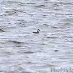 Black Scoters and Bufflehead