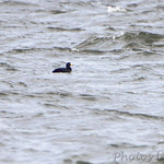 Black Scoter (male)