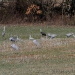 Hooded Crane and Sandhill Cranes