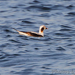 Long-tailed Duck Solomons Island