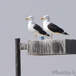 Greater Blacked-backed Gulls