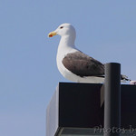 Greater Blacked-backed Gull