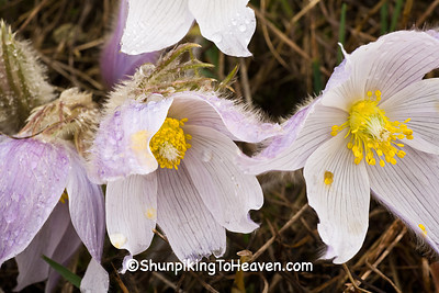 Pasque Flowers, Green County, Wisconsin