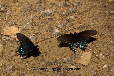 Spicebush Swallowtail Butterflies, Johnson County, Arkansas