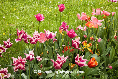 Tulips, Clark County, Illinois