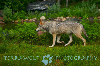 Terrawolf Photography Wolf photo