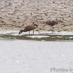 Hudsonian Godwit and Blue-winged Teal