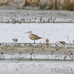 Whimbrel and Sandpipers