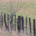 Mountain Bluebird - First spotted at about 430 yards at the fence line