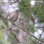 Purple Finch (female) Finger Lake State Park