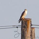Prairie Falcon - Muskrat Lake