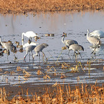 Sandhill Cranes, Trumpeter Swans and Green-winged Teal