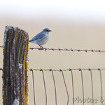 Mountain Bluebird first spotted on fence about 25 yards ahead