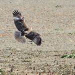 Red-tailed Hawk - Muskrat Lake