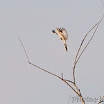 Northern Shrike - Muskrat Lake