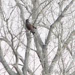 Dark Red-tailed Hawk 11/19/12