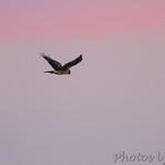 Northern Harrier 11/19/12