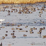 Trumpeter Swan,  Snow Goose Mallards and Green-winged Teal