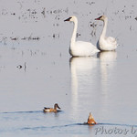 Trumpeter Swans and Northern Shovelers
