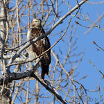 Red-tailed Hawk 11/19/12