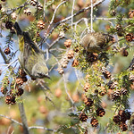 Red Crossbill and Pine Siskin