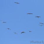 Flyover of 13 Sandhill Cranes
