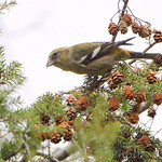 Female White-winged Crossbill