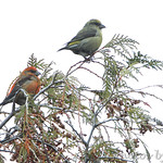 Male & Female Red Crossbill