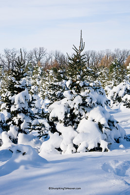 Rows of Christmas Trees, Summers Christmas Tree Farm, Dane County, Wisconsin