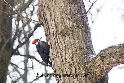 Pileated Woodpecker, Dane County, Wisconsin