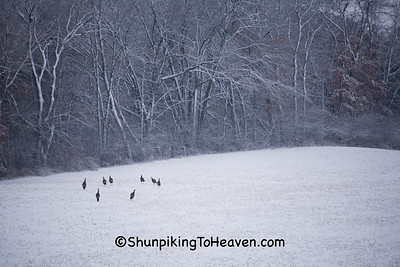 Wild Turkeys in Field, Dane County, Wisconsin