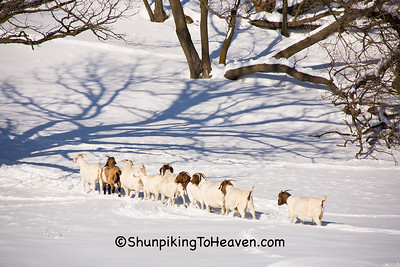 Goats Playing Follow the Leader, Vernon County, Wisconsin