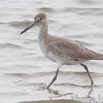 Willet - Frenchtown Road Bolivar Flats