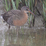 Clapper Rail - Frenchtown Road Bolivar Flats