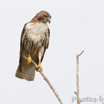 Red-tailed Hawk - Bolivar Flats