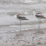 American Avocet in the fog - Galveston Ferry Bolivar Flats jetty
