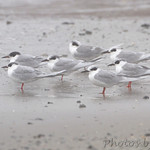 Forster's Terns in the fog - Galveston Ferry Bolivar Flats jetty