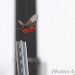 Vermilion Flycatcher - Anahauc NWR