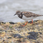 Ruddy Turnstone - Galveston Ferry Bolivar Flats jetty