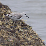 Sanderling - Galveston Ferry Bolivar Flats jetty