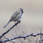 Harris's Sparrow - Austin, Texas