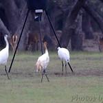 Whooping Cranes - Lamar Peninsula