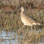 Long-billed Curlew - Lamar Peninsula