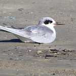 Forster's Tern - Port Aransas