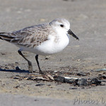 Sanderling - Port Aransas