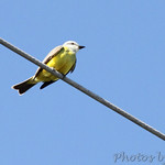 Couch's Kingbird - Port Aransas