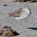 Willet - Port Aransas