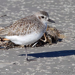 Black-bellied Plover - Port Aransas